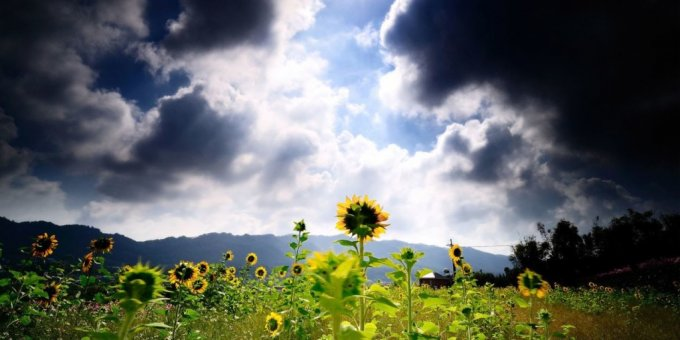 sunflowers-field-under-dark-clouds-1024x512